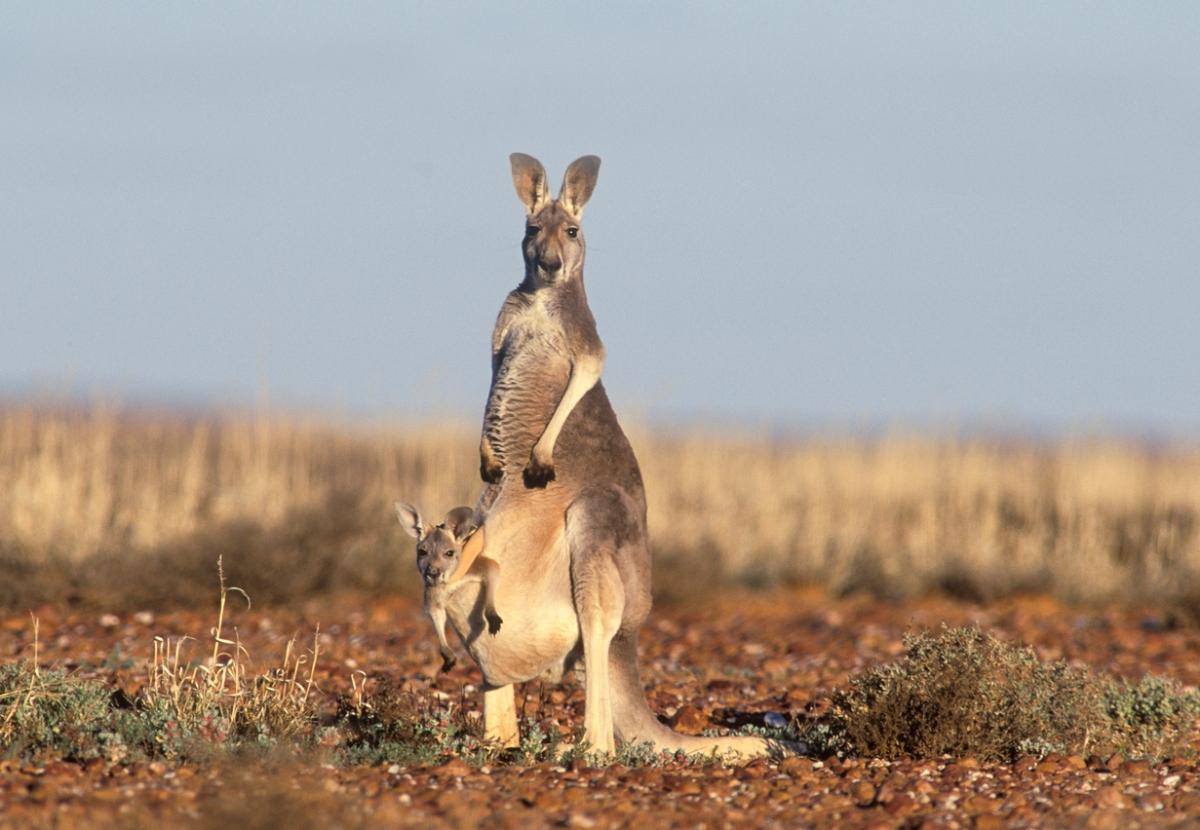 ceftiofur assay for kangaroos and wallabies u2013 animal medicine research